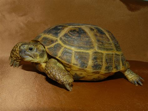 russian tortoises russian tortoises adult for sale from the turtle source