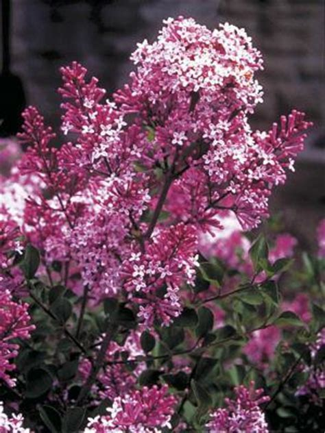 flowering shrubs ontario fragrant gardens landscape ontario green for