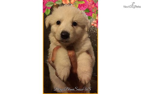 berger blanc suisse puppies for sale berger blanc suisse puppy for sale near tallahassee florida 82e160b9 d021