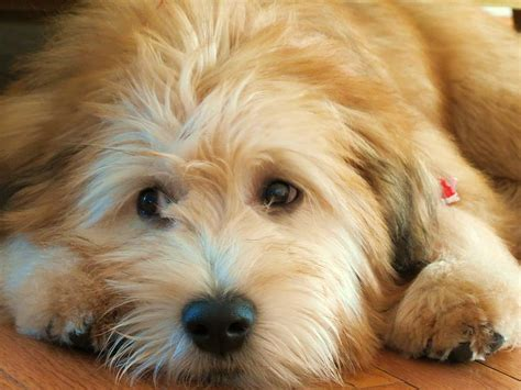 wheaton terrier puppy wheaten terrier 1 photograph by vijay govender