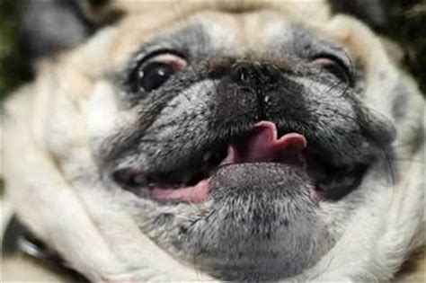 what does the pug say 41 reasons why pugs are the most majestic creatures on earth