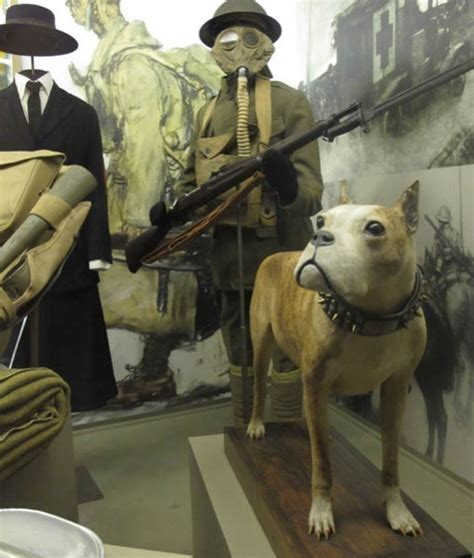Sergeant Stubby Pictures 25 Best Ideas About Sergeant Stubby On Georgetown Hoyas War Dogs And Touching