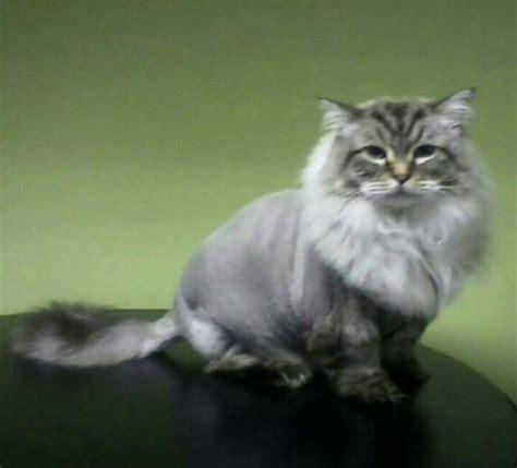 ragdoll cut lions cut cat ragdoll