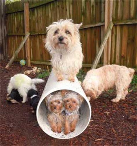 lhasa apso shih tzu poodle mix breeder of yorkipoo yorkypoo shihpoo shih tzu mini poodle mix breed hybrid