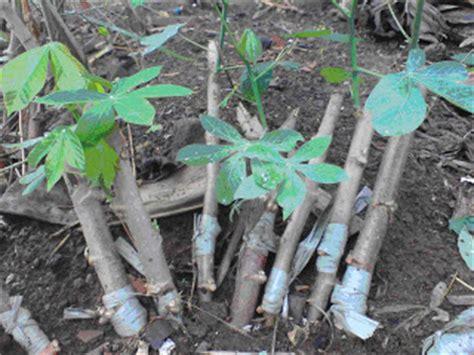 Bibit Singkong kebun singkong singkong sambung