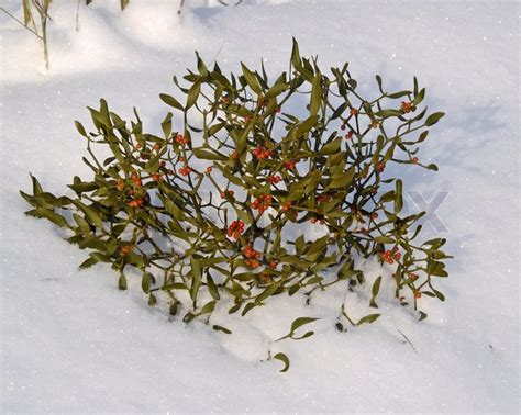 what color are mistletoe berries branch of a mistletoe with berries on snow stock