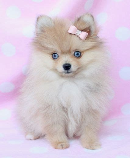 teacup pomeranian lifespan 37 best images about pomerarian on dogs for sale puppys and pomeranian husky