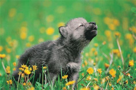 Gelang Pria Serigala Wolf Da 500 memutar khalils