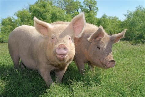 pig the how to roast a pig peta