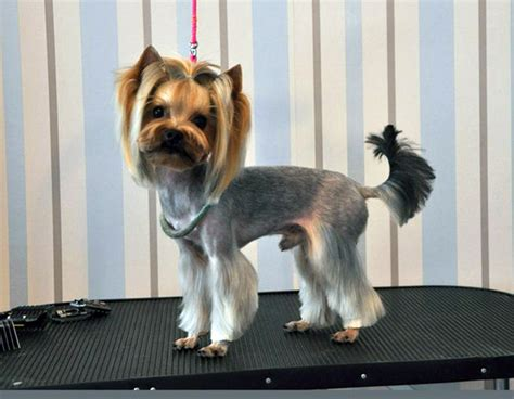 yorkies hair yorkie cut hair