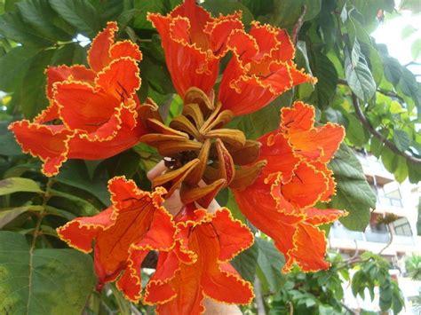 african tulip tree seeds spathodea campanulata flame