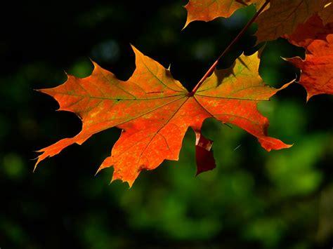 file maple leaf autumn jpg free photo autumn leaf colorful leaves free image on