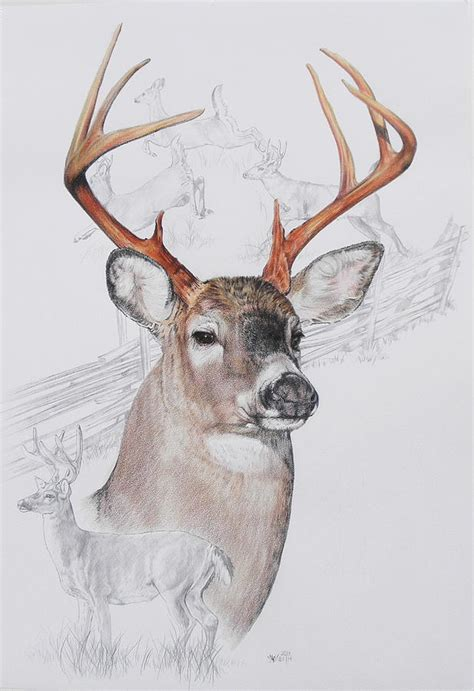 whitetail deer pencil drawings bing images