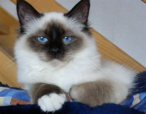 Do Ragdoll Cats Shed by 232 Best Images About Sacr 233 De Birmanie On