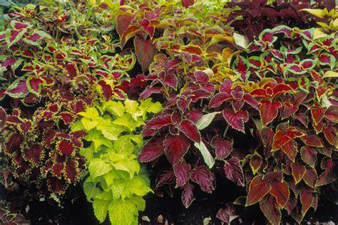 Coleus Planter by How To Grow Coleus Plants In Pots