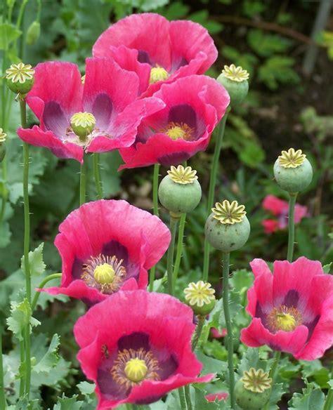image gallery opium poppy colors