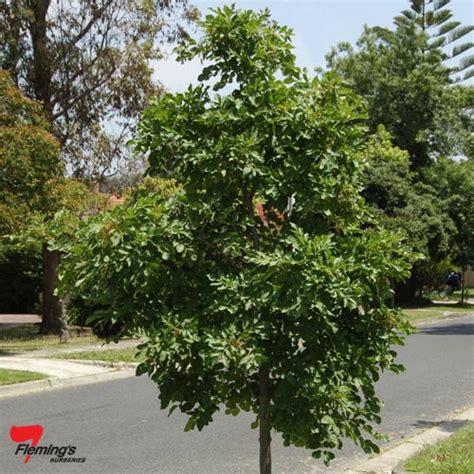 small evergreen flowering trees australia beatiful tree