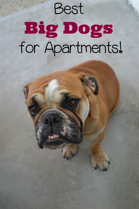 dogs for apartments best big dogs for apartments vills