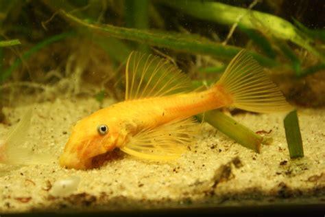 wann beißen welche fische verf 228 rbter wels 4 tote fische aquarium forum
