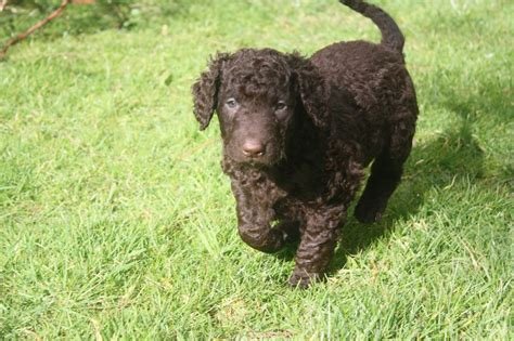 For Sale Curly Coat Retriever Puppies | Newton Abbot ...