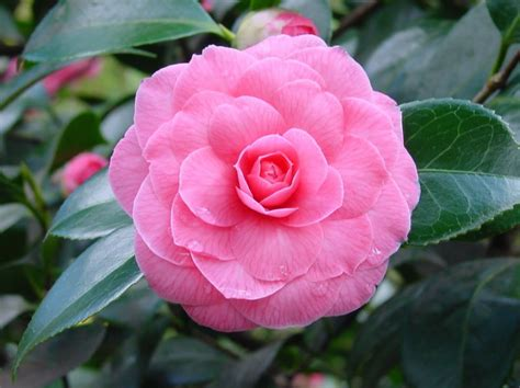 plants flowers 187 camellia japonica pink perfection