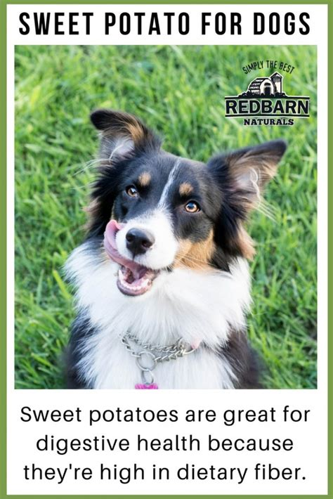 dogs and sweet potatoes the benefits of sweet potato for dogs