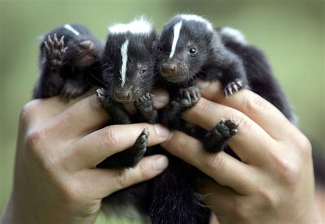 9 Amazing Pets To by 2 Skunk 9 Amazing Pets To Fashion