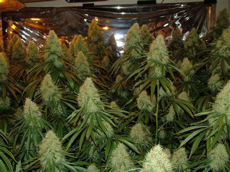 lade indoor cannabis infos 252 ber den unbekannten oder legend 228 ren quot pursang