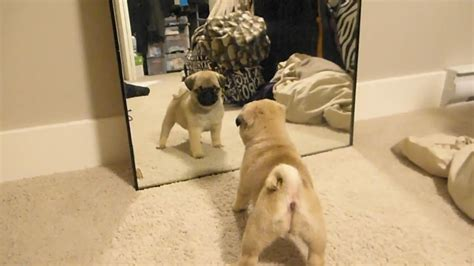 pug fight pug puppies fight their own mirror reflections it s the cutest thing