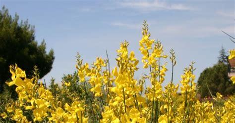 fiori di ginestra fiori di ginestra profumo di assoluto