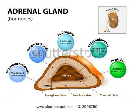 the outer section of the adrenal gland is the adrenal fatigue everything you need to know womens
