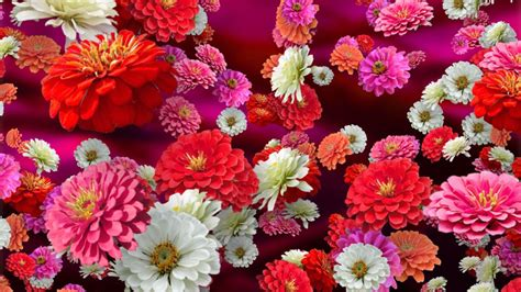 colorful zinnias floral background   youtube