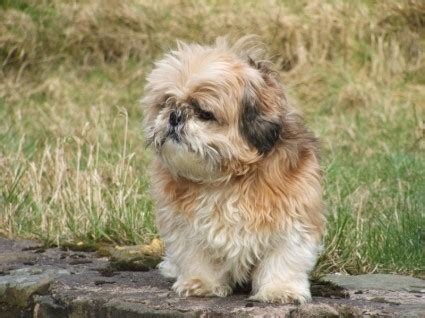 what is shih tzu favorite food best food quality food choices food allergies