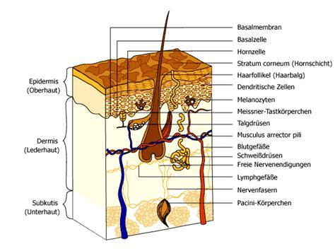 diagram of the dermis skin structure professionals