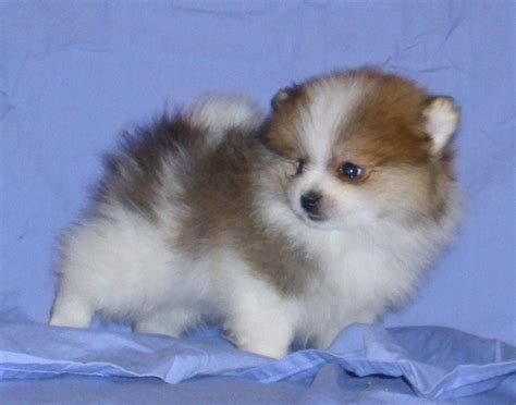 pomeranian puppies for sale in arizona none pomeranian breeder mesa arizona