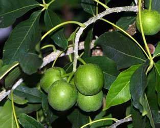 imagenes zapote negro plantas medicinales de m 233 xico zapote blanco casimiroa