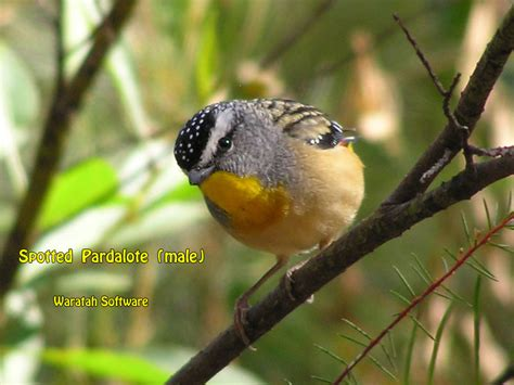 spotted pardalote p8020142
