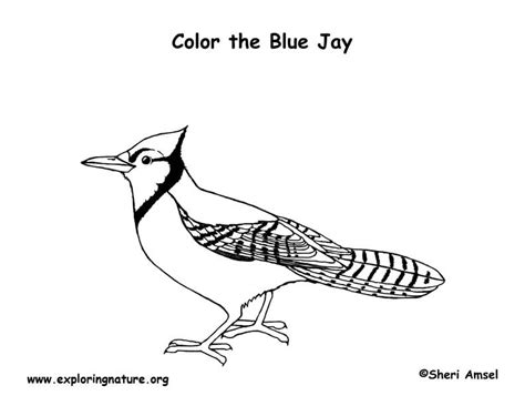 color blue jay coloring pages