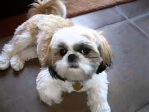shichon haircuts shih tzu hair cuts youtube