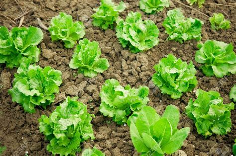 Plants Vegetable Garden Stock Photo Vegetable Garden Rows Of Fresh Lettuce Plants