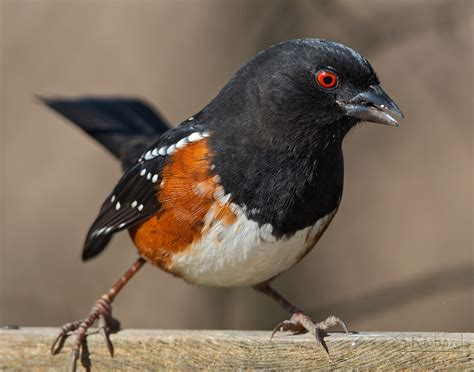 rufous sided towhee rufous sided towhee a dash to the