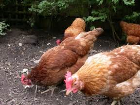 laying hens for sale birmingham west midlands pets4homes