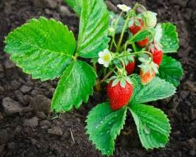 Strawberry Plant Strawberry Plants Not Producing Thriftyfun