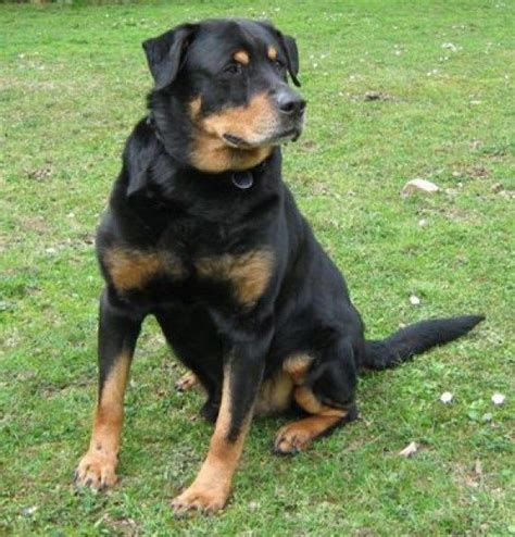labrador rottweiler cross 1000 ideas about rottweiler lab mixes on lab mixes rottweiler mix and