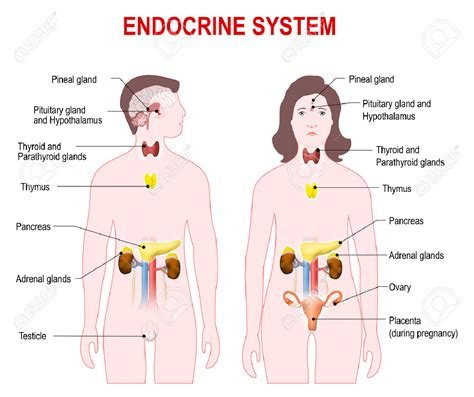 diagram of endocrine system endocrine system chart anatomy pictures