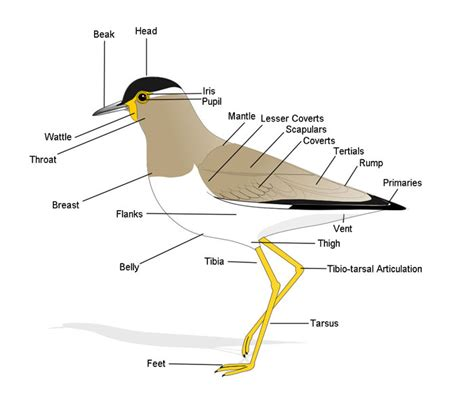 Bird Anatomy Diagram