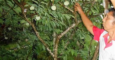 Bibit Alpukat Non Biji bibit tanaman buah langka unggul daerah kota blitar jenis lokal import perkebunan pertanian