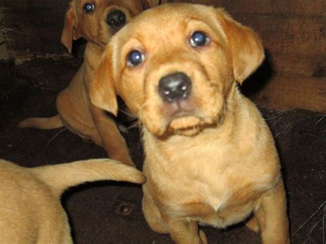 fox labrador puppies fox lab puppies for sale fox labrador retriever design bild