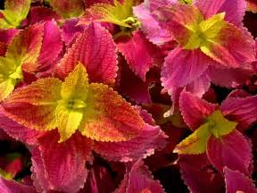 how to care for cutting coleus