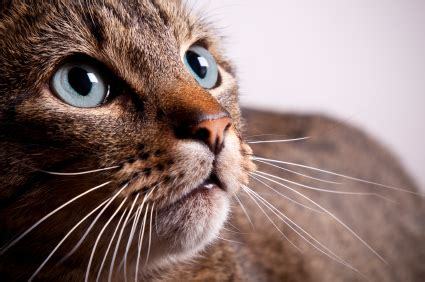purpose of whiskers why do cats whiskers